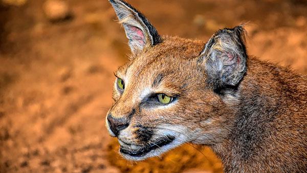 Kucing caracal