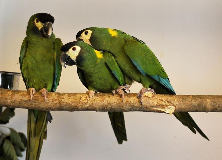 jenis-burung-macaw